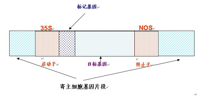 转基因产品基本结构分析